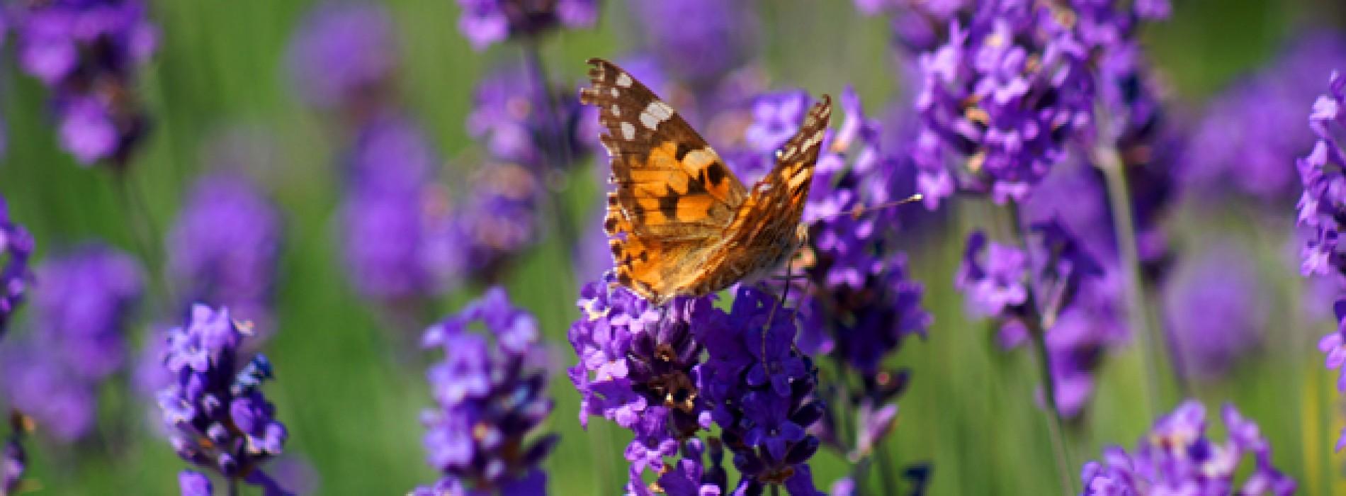 Lavendel beter dan antidepressiva