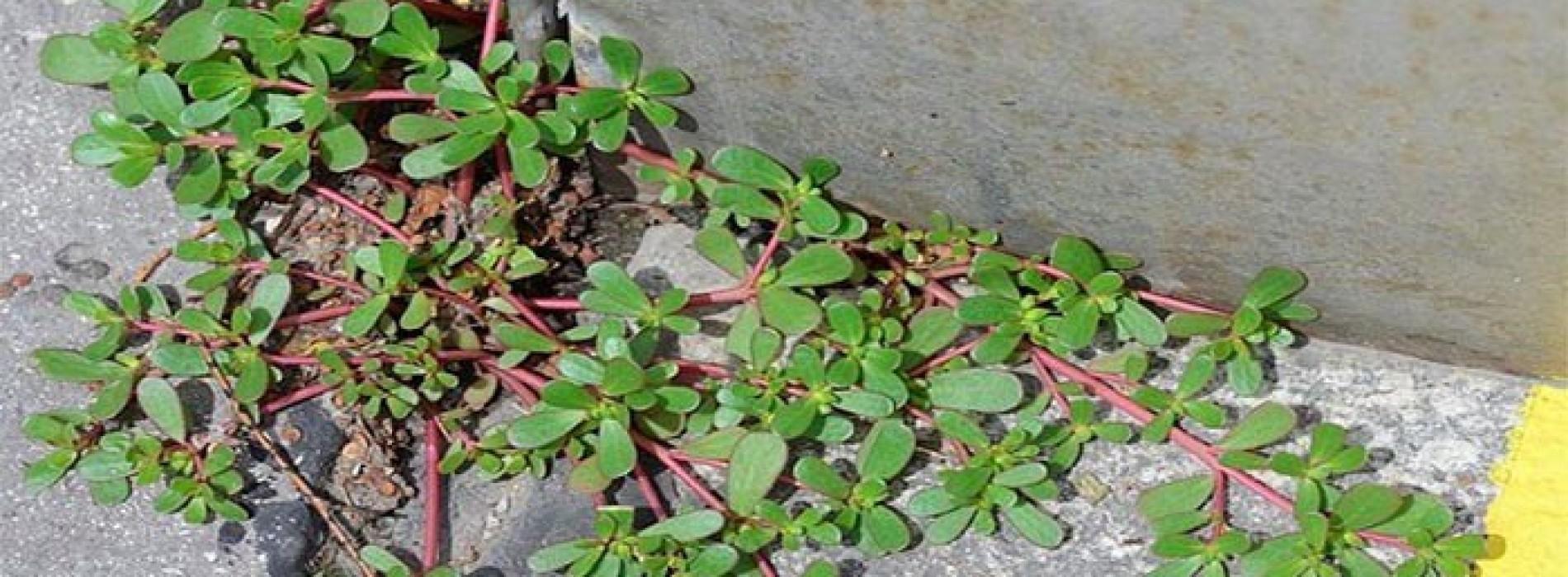 Stop het enkel een onkruid te noemen, het is een van de beste plantensoorten om uw gezondheid een boost te geven.