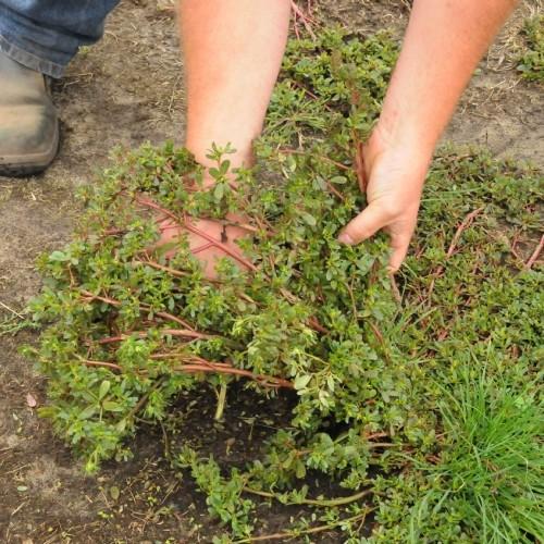 Groeit dit onkruid in je tuin? Trek het er dan zeker niet uit om deze reden!