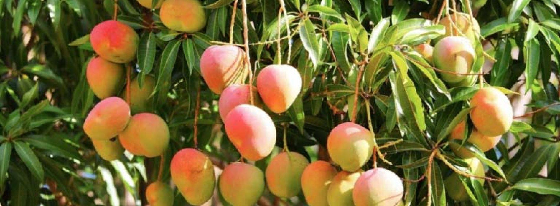 Zelf een mangoboom kweken uit een pit