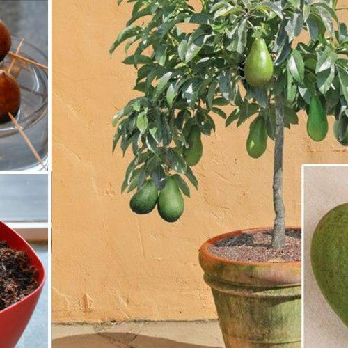 Vanaf nu hoef jij geen avocado's meer te kopen. Ze zelf kweken is namelijk super makkelijk via deze manier!