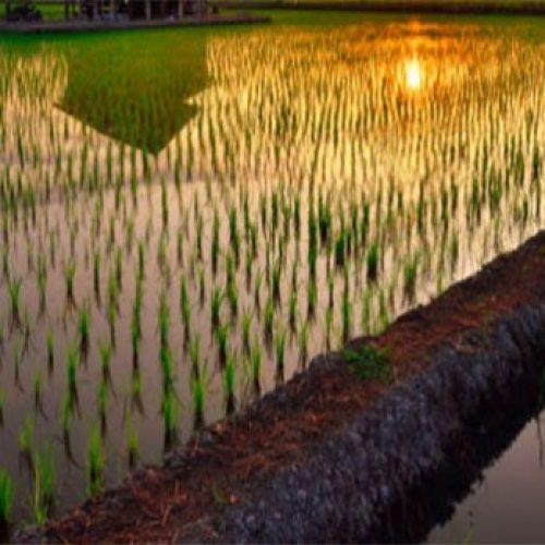 200 Miljoen Mensen Zouden Kunnen Worden Gevoed Met De Nieuwe Soort Zoutwater Rijst Uit China.