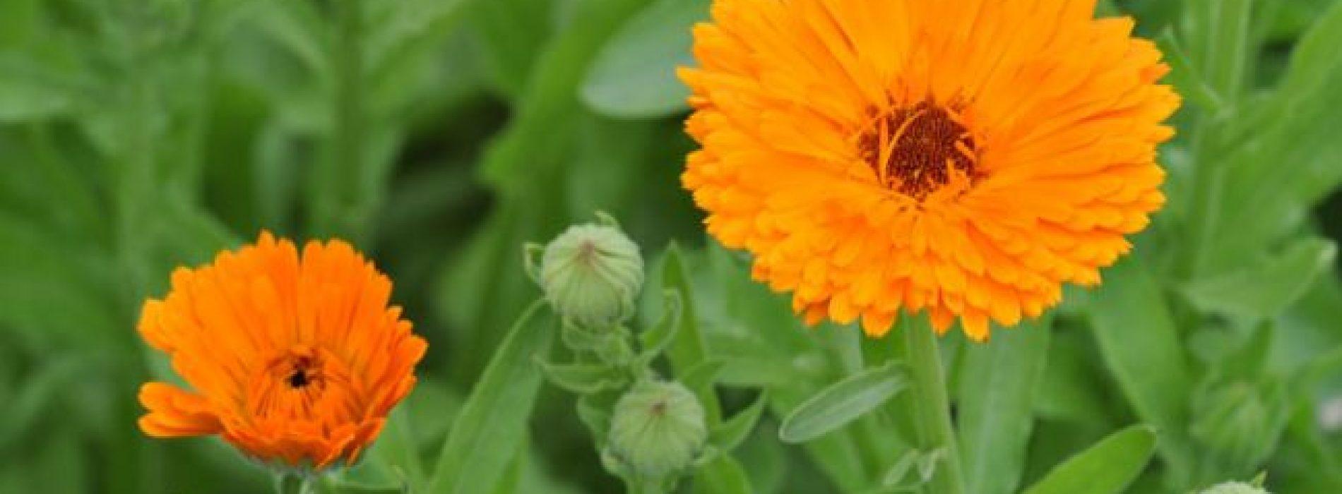 Basisbeginselen: Hoe calendula te kweken, een nuttige medicinale plant