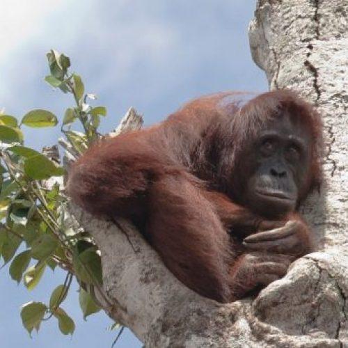 Zwangere Orang-Utan klampt zich vast aan de laatste boom terwijl bulldozers het regenwoud om haar heen vernietigen
