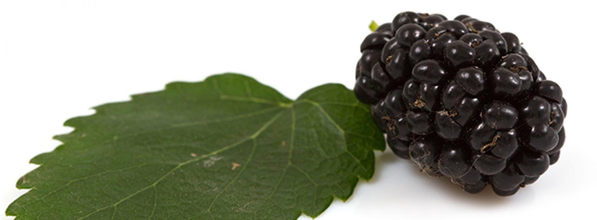 Moerbei bladeren kunnen worden gebruikt om diabetes symptomen op afstand te houden