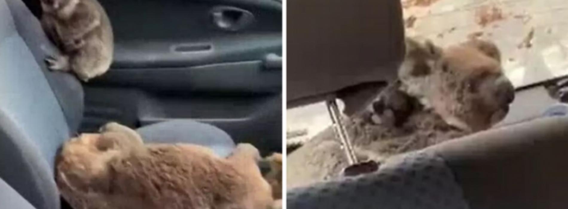 Hartverwarmende video toont dappere tieners die een auto vullen met koala's om ze te redden van bosbranden
