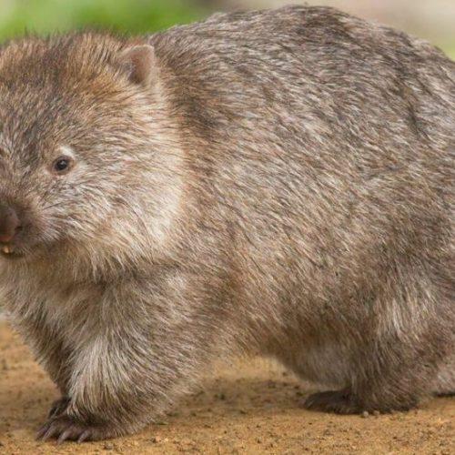 Wombats zijn de helden van de Australische branden, die dieren onderbrengen in hun holen