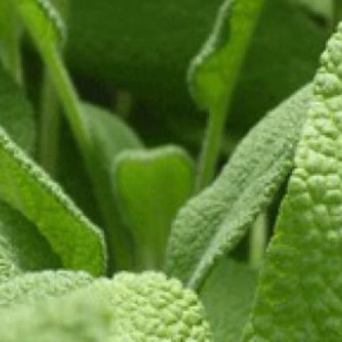 Salie, één van de meest geneeskrachtige planten op de planeet