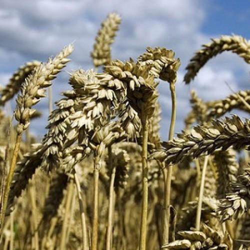 Is spelt gezonder dan tarwe?