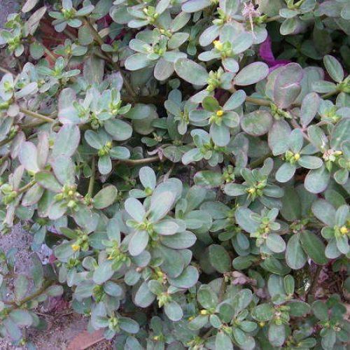 Zie je dit onkruid in je tuin? Haal het dan nooit weg!