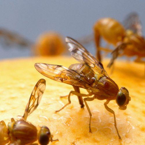 Met DEZE tips kom je snel van die irritante fruitvliegjes af!