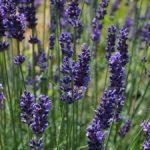 lavender-2117363_960_720-225x300