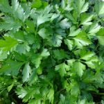 parsley-393028_960_720-300x225