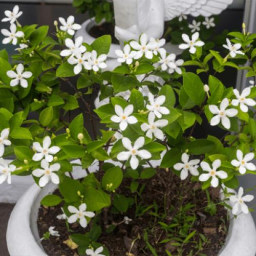Houd een Jasmijn Plant in je kamer. Jasmijn vermindert angst, paniekaanvallen en depressie