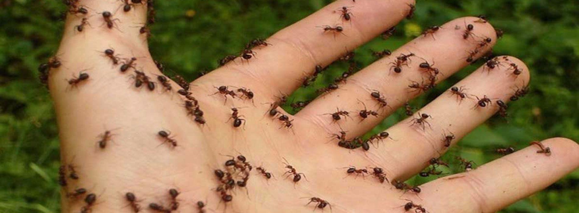 5 natuurlijke methoden om mieren voorgoed te elimineren