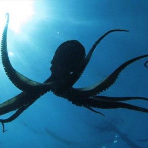 Wetenschappers waarschuwen dat we absoluut geen octopussen mogen kweken