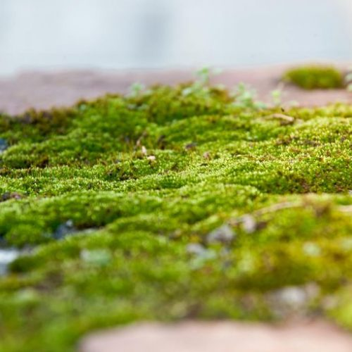 Wetenschappers waarschuwen: eet geen mossen met viagra-effect