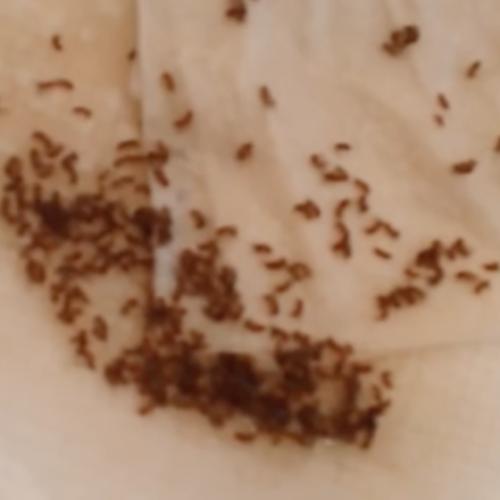 Hoe alle fruitvliegen en muggen zonder gif te elimineren