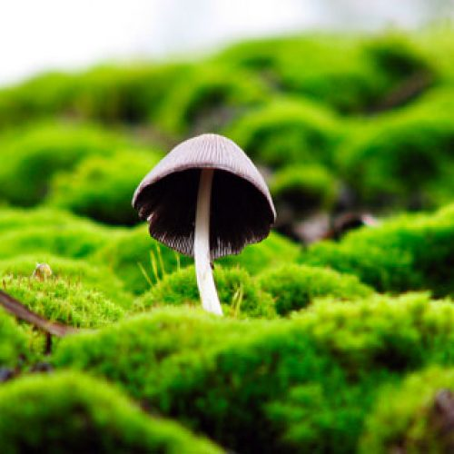 PSILOCYBIN paddenstoelen tonen 80% succespercentage voor stoppen met roken