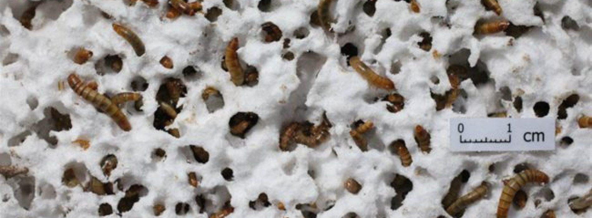 Wetenschappers ontdekken plastic-etende wormen die de planeet kunnen redden