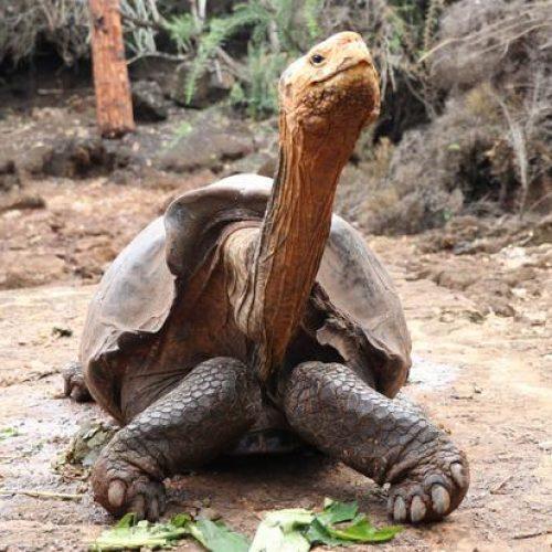 Diego, de gigantische schildpad, gaat met pensioen nadat zijn hoge seksdrift heeft geholpen zijn hele soort te redden