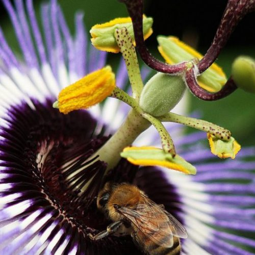 Deze prachtige bloem heeft kankerbestrijdende eigenschappen