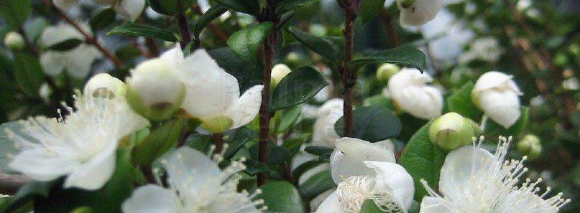 Onder-onderzochte planten uit de mirtefamilie blijken antibacteriële activiteit te hebben