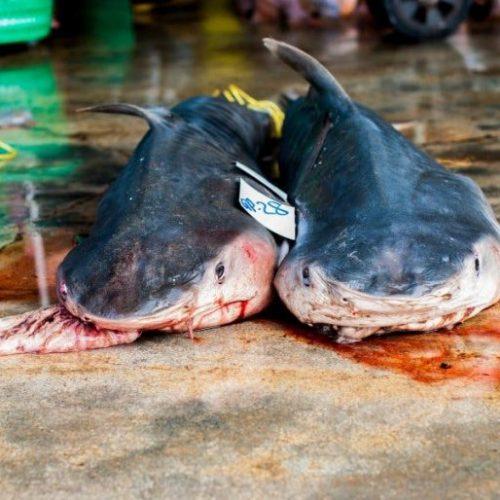 Canada wordt de eerste G20-natie die handel in haaienvinnen verbiedt
