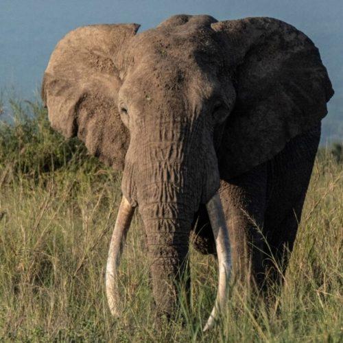 Van stroperij tot avocado's, Kenia's olifanten worden geconfronteerd met een nieuwe bedreiging