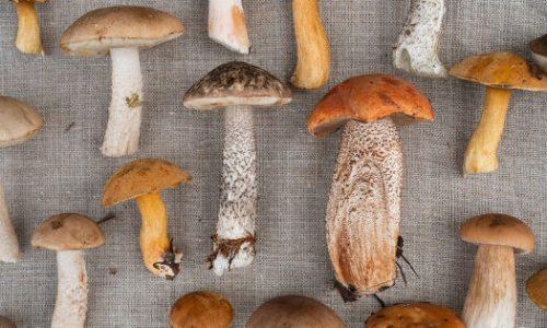 Vijf therapeutische eigenschappen van medicinale paddenstoelen